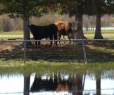 A couple of bulls rest in the bull pasture