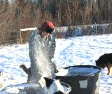 Chopping holes in the ice for the stock to drink