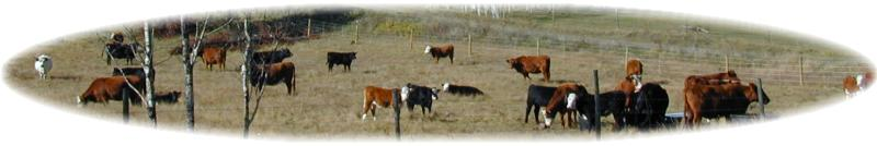 Meadow Springs is a Working Ranch in BC's South Cariboo in Canada